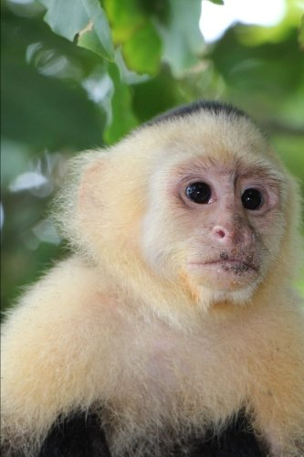 (White-Faced Capuchin Monkey Journal: 150 page lined notebook/diary )