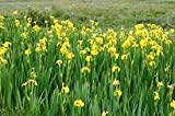 Cheap Yellow Flag (Iris pseudacorus)