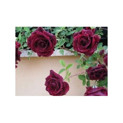 Heirloom 300 Climbing Rose Seeds Climber Deep Red Perennials Flower Bulk Double B3200 : Flowering Plants : Garden & Outdoor