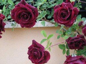 - Heirloom 300 Climbing Rose Seeds Climber Deep Red Perennials Flower Bulk Double B3200