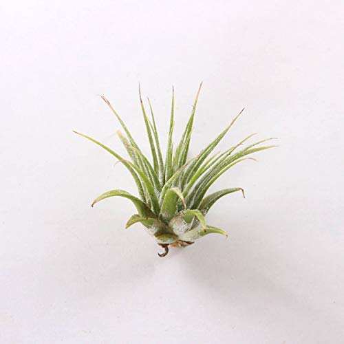 Bulk 100 Air Plants Variety Pack (50 Ionantha, 50 Fuchsii) - Wholesale by AchmadAnam (Image #1)