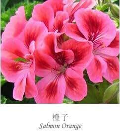 la nave libre 20Seeds semillas de geranio Pelargonium semillas de flores frescas hortorum