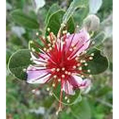 15 Strawberry Guava Seeds-1032, - Limits : Garden & Outdoor