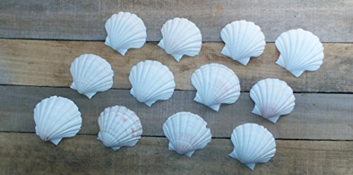 The Shell Connection Pecten Albican Shells - Japenese Baking Dish Scallops, Set of 20, 2.5