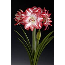 Double Amaryllis Bulb Red and White Flaming Peacock - 26/28cm Bulb - Outstanding Indoor Blooms!
