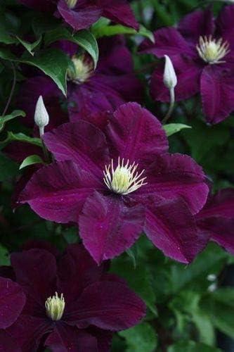 25 púrpura oscura del Clematis Seeds grande Bloom planta trepadora perenne del jardín de flores: Amazon.es: Jardín