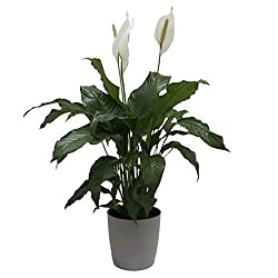 """About peace lily: spathiphyllum is a beautiful floor plant or gift. Plants bear broad, dark green leaves each one is slightly different, so the plant you receive may vary from the photo. It typically measures 30 to 36"""" Tall from the pot bottom to the..."""