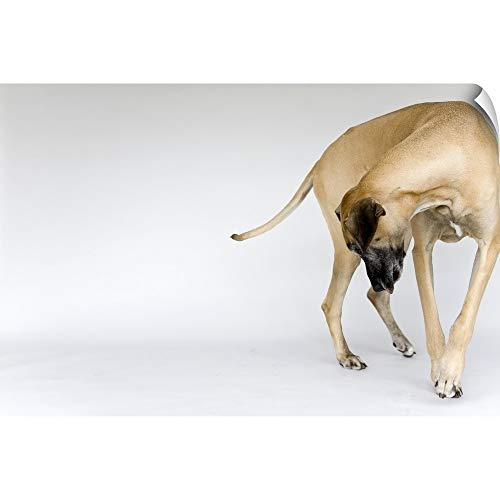 Fawn Canvas - CANVAS ON DEMAND Fawn Great Dane Looking at a its Paws Wall Peel Art Print, 18