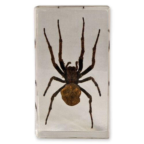 Wolf Spider In Acrylic Display