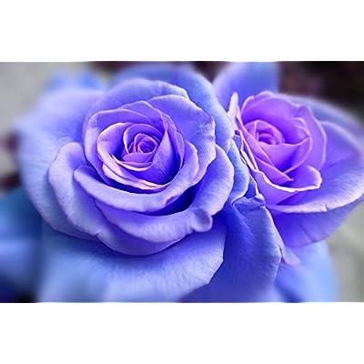 5 BLUE CLIMBING ROSE Rosa Bush Vine Climber Fragrant Butterfly Flower Seeds : Garden & Outdoor