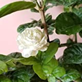 9EzTropical - Arabian Jasmine 'Grand Duke of Tuscany' Fragrant Plant - 1 Plants - 2 Feet Tall - Ship in 1 Gal Pot