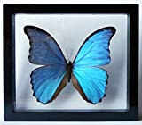 Ben the Butterfly Guy Blue Morpho Butterfly Framed and Mounted in Black Display