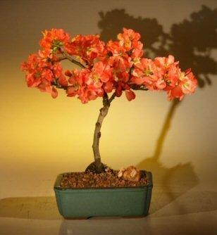 Japanese Flowering Quince Bonsai Tree (chaenomles 'toyo-nishiki')