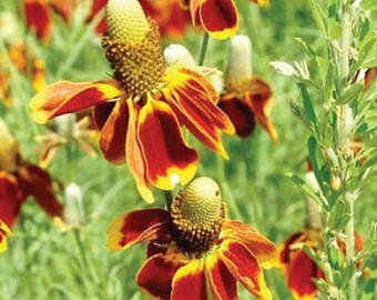(Mexican Hat flower seeds wildflower bulk wholesale bright red yellow - 200)