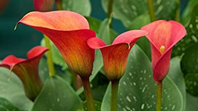 Red Alert Calla Lily Bulbs - 5 Bulbs