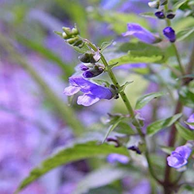 Mad-dog Skullcap Seeds - a perennial herb in the mint family ....(10 - Seeds) : Garden & Outdoor