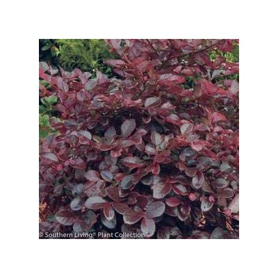 Purple Diamond Loropetalum - 1 Gallon : Garden & Outdoor