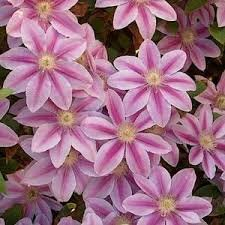 Clematis nelly moser climbing plant pale pink flowers with deeper clematis nelly moser climbing plant pale pink flowers with deeper bar mayjune and sept mightylinksfo