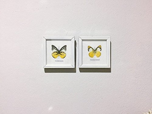REAL BUTTERFLIES SPOTTED SAWTOOTH AND COMMON ALBATROSS BUTTERFLY DISPLAY INSECT TAXIDERMY IN WHITE FRAMED, BY' THAI DECORATED by Thai Decorated