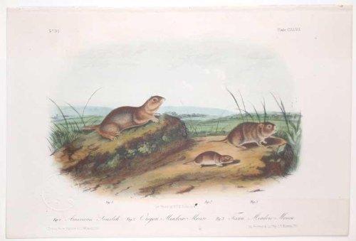American Souslik, Oregaon Meadow Mouse, Texan Meadow Mouse, Plate CXLVII (147)