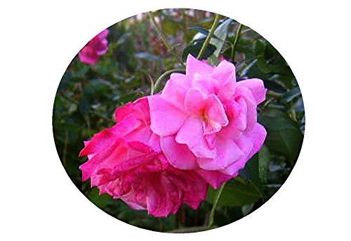 (OLD BUSH Blush Heirloom Antique Own Root Rose Live Plant Double Pink Flower Starter Size Plant 4 Inch Pot Emerald TM)