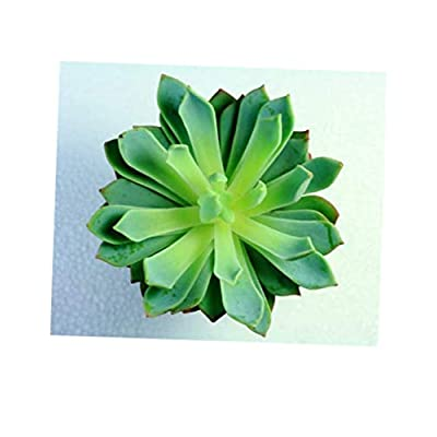 TEE 1 Bare Root Medium Succulent Plant Echeveria Mazarine Unique Rosette That has Pointed Tipped Leaves - RK69 : Garden & Outdoor