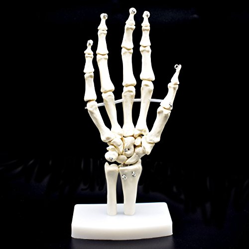 Human Hand Skeleton Model on Base, Hand Bone,Life Size, Articulated -