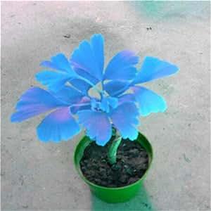 Hot Sale 5 PCS Ginkgo Biloba Seeds Beautiful Foliage Plants Perennial Flowers Seeds tree Bonsai Plant Seeds watch Golden Garden