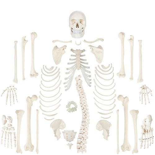 Axis Scientific Complete Disarticulated Human Skeleton with 3-Part Human Skull, Articulated Hand, Foot, Anatomical Life Size Bones and More Anatomy | Includes Detailed Product Manual | 3 Year Warranty