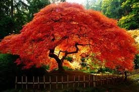 *Seeds and Things Maple Amur (Acer Ginnala Flame) Nice Garden Tree 10+ Seeds - Small Maple with Spring and Fall Appeal