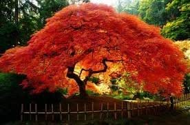 Amazon Com Maple Amur Acer Ginnala Flame Nice Garden Tree By