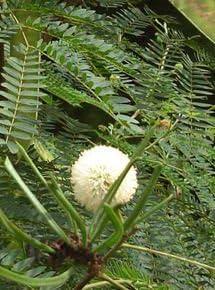 Amazon Com Bonsai Boy S Flowering Mimosa Bonsai Tree Large Leucaena Glauca Grocery Gourmet Food