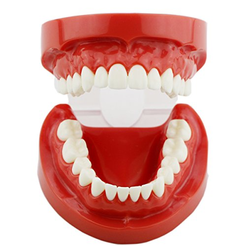 Dental Typodont Standard Teeth model for Teaching Practice Demonstration Flossing model for (Teeth Demonstration Model)