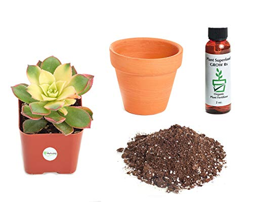 Shop Succulents Aeonium 'Kiwi' 2In Plant Kit -