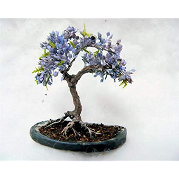 Amazon Com Blue Jacaranda Tree Seeds 20 Pack Excellent Bonsai Specimen Exotic Flowering Bonsai Blooming Tree Garden Outdoor