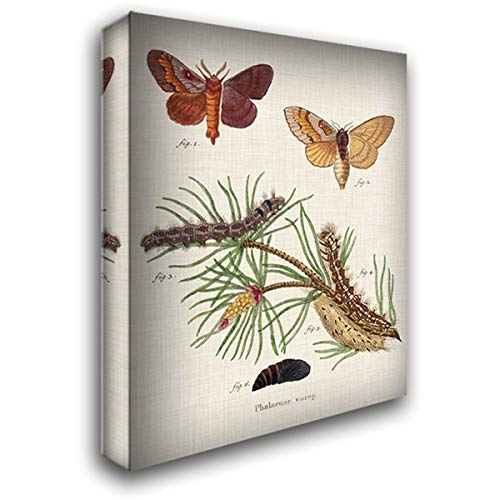 Life Cycle of a Moth II 32x40 Extra Large Gallery Wrapped Stretched Canvas Art by Esper, Johann
