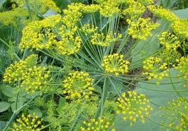 100 Mammoth Dill Seeds