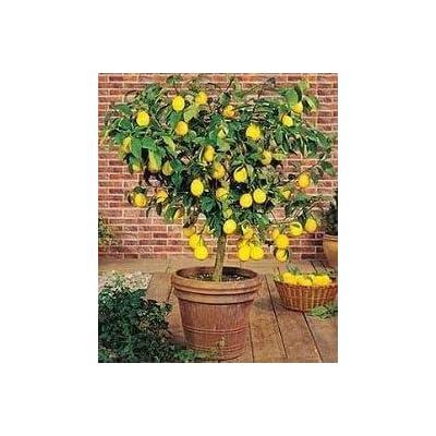 Dwarf Meyer Lemon Tree 35 Seeds Produces Healthy Lemons : Garden & Outdoor