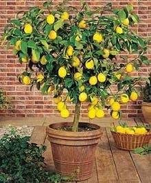 Amazon Com Dwarf Meyer Lemon Tree 35 Seeds Produces Healthy