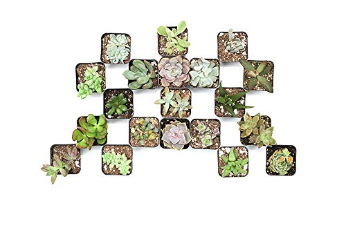 CAL Farms 2 Beautiful Assorted Variety Succulents for Weddings or Party Favors or Succulent Gardens (Pack of 20)