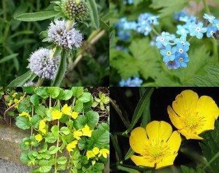 gemischtes Pflanzensortiment mit 25 Pflanzen Teichpflanzen Teichpflanze Teich ZAC Wagner