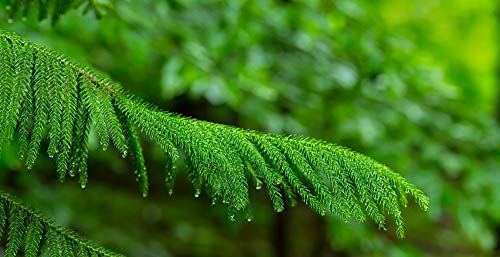 (Posterazzi Close-up of Norfolk Island Pine (Araucaria heterophylla) leaves Hamburg New York State USA Poster Print (27 x 9) (Renewed))