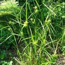 1 lb Seeds Elymus villosus SILKY WILD RYE