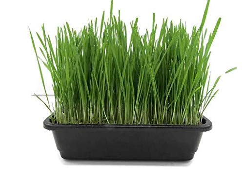Organic Wheatgrass Growing Kit for Windowsill. Kit Includes a 14.5