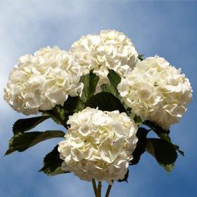 GlobalRose 40 Fresh Cut White Hydrangeas - Fresh Flowers For Weddings or Anniversary. by GlobalRose (Image #6)