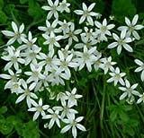 30 bulbs STAR OF BETHLEHEM LILY BULBS ORNITHOGALUM HARDY PERENNIAL PLANT FLOWER 5/15/30