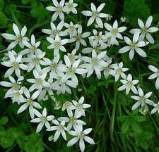 (30 bulbs STAR OF BETHLEHEM LILY BULBS ORNITHOGALUM HARDY PERENNIAL PLANT FLOWER 5/15/30)
