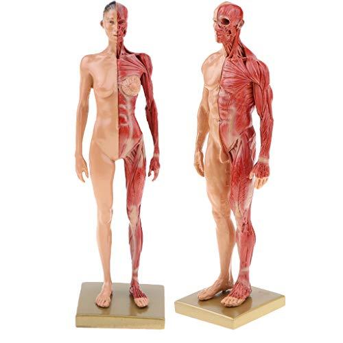 F Fityle 解剖学研究 参照模型 肌色 11インチ 女性 男性解剖図 模型