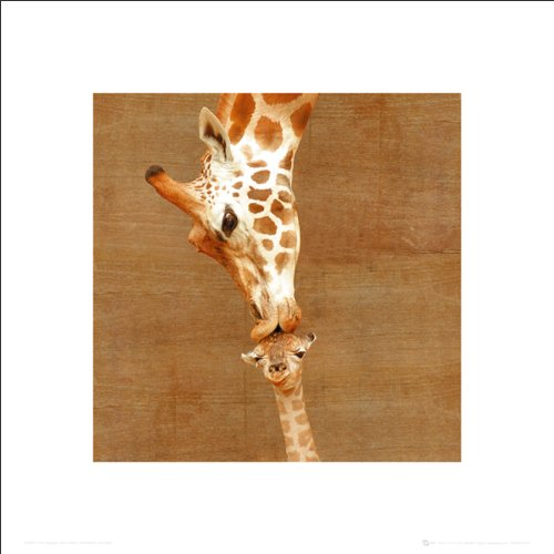(Giraffes First Kiss Inspirational Animal Photography Poster Print (Decorative))