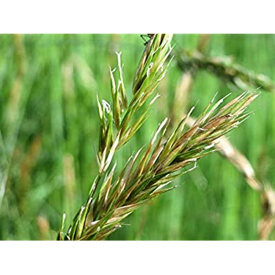 Seeds Sweet Vernal Grass Sweet Grass Vanilla Grass Anthoxanthum Odoratum get 150 Seeds #SFB01YN : Garden & Outdoor